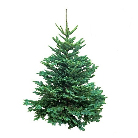 Noble firs for a classic Christmas scent